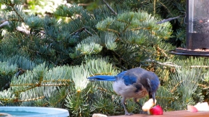 Scrub Jay eating peanuts.