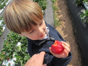 Eating a strawberry in the field during a class field trip.